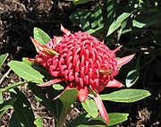 a red flowerhead nestled among green foliage in a park setting