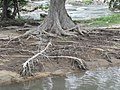 Terminalia arjuna tree roots - India 1.jpg