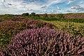 Texel - De Geul - View WNW on Flowering Heather & Moksloot II.jpg