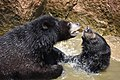 The Himalayan black bear (Ursus thibetanus) is a rare subspecies of the Asiatic black bear. 17.jpg