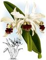 The Orchid Album-01-0092-0030-Laelia elegans alba-crop.png