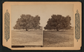 The large oaks of California, from Robert N. Dennis collection of stereoscopic views.png