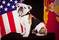 The official mascot of the Marine Corps, English bulldog Pfc. Chesty the XIV, poses for his official photo at Headquarters Marine Corps Combat Camera in the Pentagon, Arlington, Va, May 15, 2013 130515-M-KS211-002.jpg