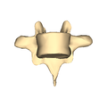 Thoracic vertebra 7 close-up anterior surface.png