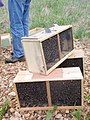 Three bee packages for Park (16272512611).jpg