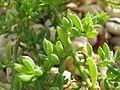 Threlkeldia diffusa.jpg