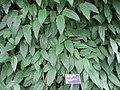 Thunbergia mysorensis - JBM.jpg
