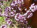 Thymus serpyllum 1.JPG