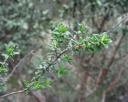 Un rameau de Thymus vulgaris