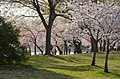 Tidal Basin and cherry trees - 2013-04-09 (8635278795).jpg