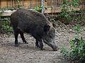 Tiergarten Worms 2011 Wildschwein.JPG