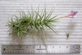 Tillandsia with 3 open flowers and daughter plant.png