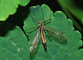 Tipulidae April 2008-2.jpg