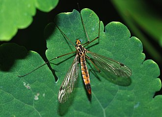 Crane fly - Nephrotoma appendiculata (spotted crane fly)