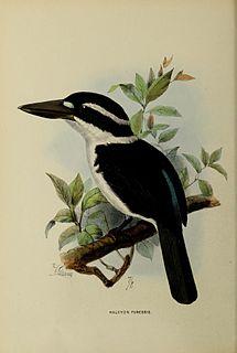 Sombre kingfisher species of bird