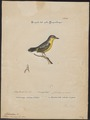 Todirostrum cinereum - 1700-1880 - Print - Iconographia Zoologica - Special Collections University of Amsterdam - UBA01 IZ16500261.tif