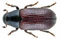 Tomicus piniperda (Linné, 1758) Syn.- Blastophagus piniperda (Linné, 1758) (13510920043).png