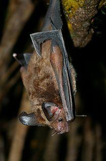 Stripe-headed round-eared bat Species of bat