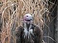 Torgos tracheliotos -Kansas City Zoo, Missouri, USA-8a.jpg