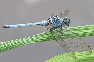 <i>Orthetrum brachiale</i> species of insect