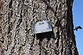 Toxicodendron vernicifluum bark.jpg