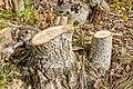 Tree Stumps-147675.jpg