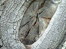 Tree bark02.jpg