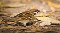 Tree sparrow (30391816917).jpg
