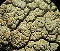 Tremella diploschistina Millanes, M. Westb., Wedin & Diederich 590907 2013-04-19.jpg