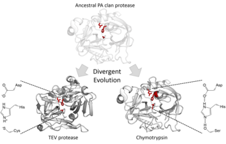 PA clan - Evolutionary divergence of the catalytic triads to use different nucleophiles. Shown are the serine triad of chymotrypsin (clan PA, family S1) and the cysteine triad of TEV protease (clan PA, family C3).