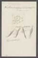 Trichoda ambigua - - Print - Iconographia Zoologica - Special Collections University of Amsterdam - UBAINV0274 113 16 0012.tif