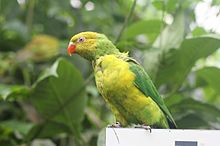 Trichoglossus euteles -Tropical Butterfly House, Wildlife & Falconry Centre -North Anston-8a.jpg