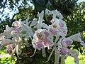 Trichopilia suavis - Flickr 003.jpg