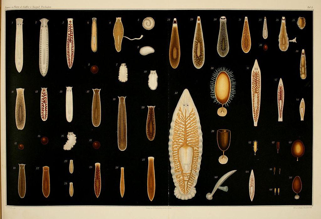 Tricladen - Fauna und Flora des Golfes von Neapel (32) - Von J. Wilhelmi (1909) - Taf. 1 - BioDivLibrary page 6922192