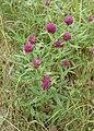 Trifolium alpestre kz04.jpg