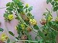 Trifolium campestre flowerhead1 (10620865604).jpg