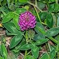 Trifolium medium in Avoriaz (2).jpg