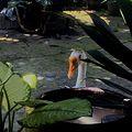 Tropical Swan.jpg