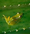 Tsarafidy Madagascar Frog (Guibemantis pulcher) (10328061235).jpg