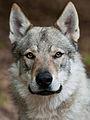 Tschechoslowakischer Wolfshund4.jpg