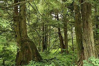 Tsuga heterophylla - T. heterophylla often grows on coarse woody debris such as nurse logs and cut stumps