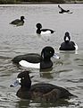 Tufted Duck From The Crossley ID Guide Eastern Birds.jpg