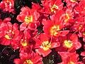 Tulipa Abba.JPG