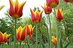 Tulips are....jpg
