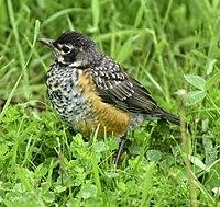 Turdus migratorius juv Toronto2.jpg