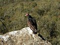 Turkey Vulture in Winters, CA.JPG