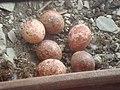 Turmfalken Eier im Blumenkasten.jpg