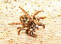 Twin-flagged Jumping Spider - Anasaitis canosa, Myakka River State Park, Sarasota, Florida.jpg