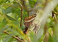 Two-tailed Pasha (Charaxes jasius) attracted by exuding sap (14345525828).jpg