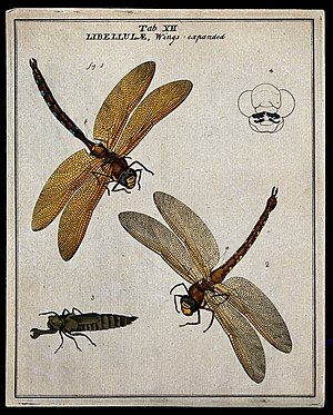 Moses Harris - Accurately drawn dragonflies by Moses Harris, 1780. At top left, the brown hawker, Aeshna grandis; a less accurate larva is at lower left.